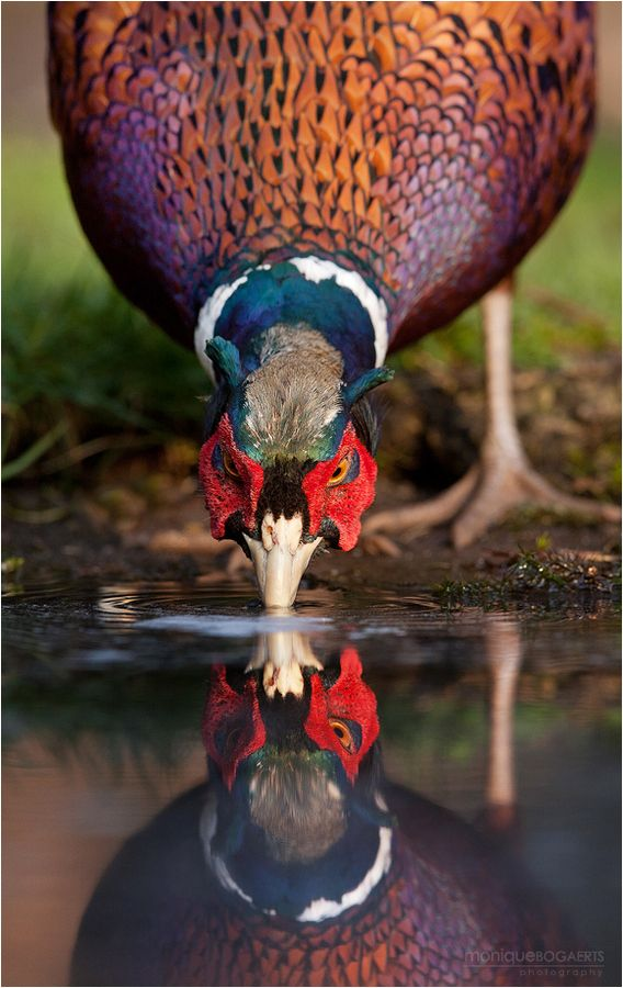 #Pheasant (Phasianus colchicus). A very colourful gamebird. Widespread in the UK in areas of farmland and wooded habitats. #Birds #UK #woodland #wildlife #nature #ForestRetreat #UKgetaway