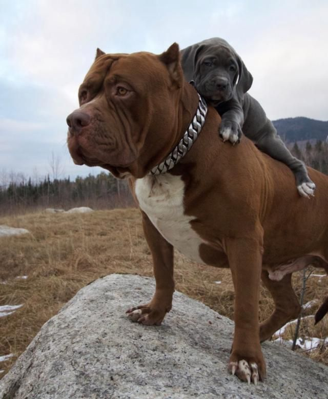 Remember Hulk, the world's biggest pitbull? He's now a dad… and his 'puppy' could soon rival him in size