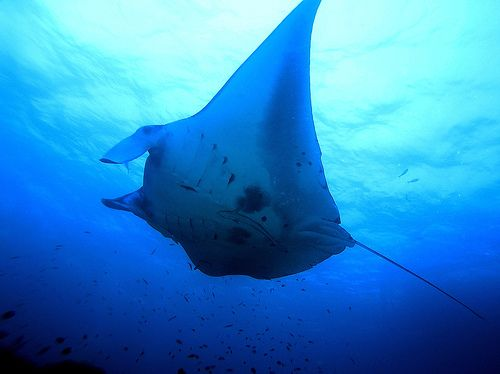 Swimming with the Manta Rays in Hawaii....awesome!