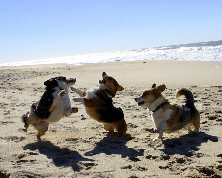 3 corgis at the beach