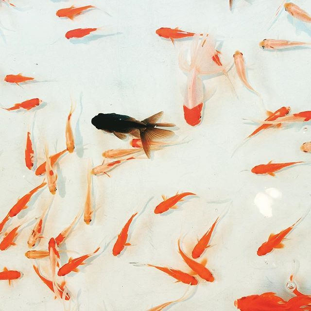 Looking for inspiration x Ioana #koi #inspiration