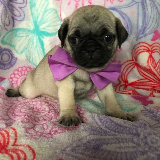 Pug Puppy For Sale In Honey Brook Pa Adn 66105 On Puppyfinder