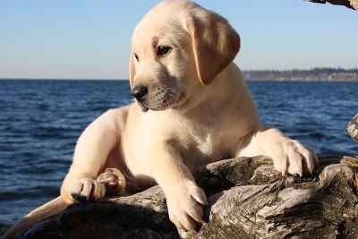 Labrador puppy at the beach