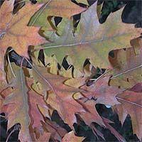 Дуб красный, или северный — Quercus rubra L.
