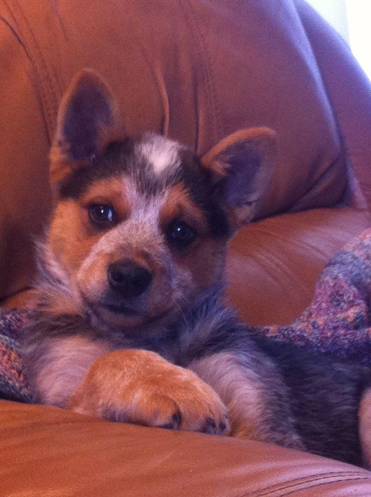 Park Art My WordPress Blog_Texas Heeler Puppies For Sale Ohio