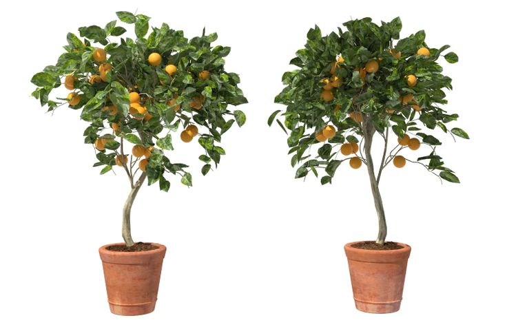 orange tree potted 3D ORANGE TREE 3D, fruit citrus tree 3D