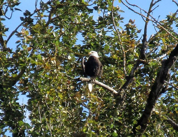 Bald Eagle at Steigerwald Lake National Wildlife Refuge, Washougal, WA 10/2016