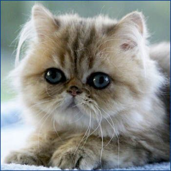 DaLee Chinchilla oro gatos persas