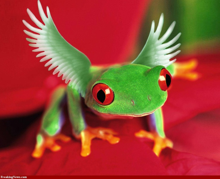 """What kind of frog is this? My son calls it an """"angel frog"""" We're researching frogs for our frog life cycle project. Ribbit!"""
