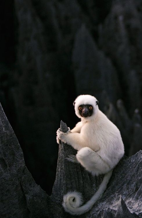The Silky sifaka (Propithecus candidus) is a large lemur native to Madagascar.  This beautiful lemur is one of the world's rarest mammals with only several hundred left in the wild. The species is threatened by habitat destruction. Recently, however, educational programs in Madagascar show hope for better protection of this vulnerable species.(Source: digdaga, via beverleyshiller)