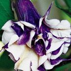 Purple People Eater Angel Trumpet Perfect for Borders or Patio Pots