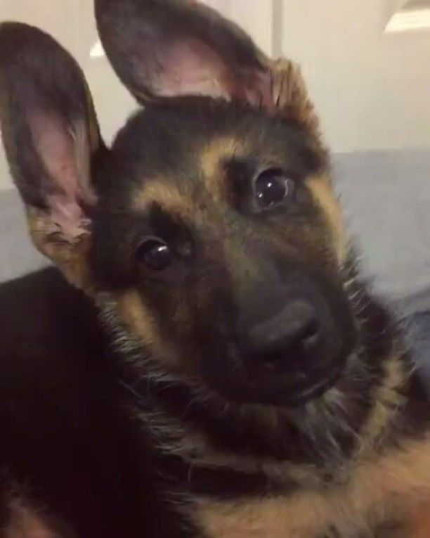 Mom Are You Making Fun Of My Bunny Ears Again Theo The Gsd