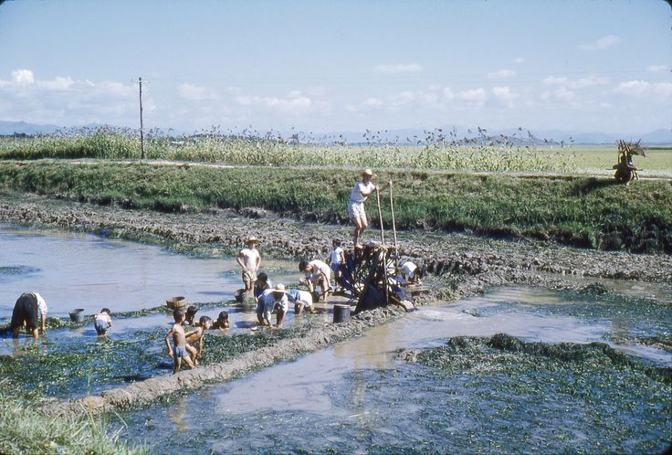 Korean farmers irrigating a rice field in 1960 using an old fashioned man-powered water wheel pump. The location is in or near what is now called Iksan City - the name was changed from Iri to Iksan about 20 years ago according to a Korean friend. Other modern names for Iksan are Ekizan and Ekisan. The city of Jeonju (aka Cheonju, Chonju) is about 20-30 kilometers east-southeast of Iksan - both cities are in the Jeollabuk-do province (aka Chollabuk-do) of southwestern South Korea. Image So...