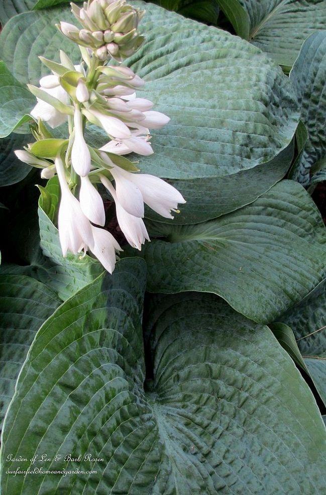 346 best images about hosta ferns on pinterest shade. Black Bedroom Furniture Sets. Home Design Ideas