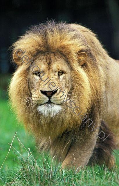 #lion #king #lew #animal #fototapeta #dekorujemysciany #dekoracja #wnetrza #interior #wall Król zwierząt może zagościć w Twoim pokoju, jeśli zamówisz go u nas!