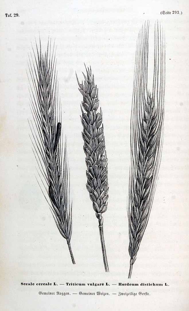 Rye (Secale cereale), Wheat (Triticum Vulgare) and Two-rowed barley (Hordeum vulgare f. distichon)
