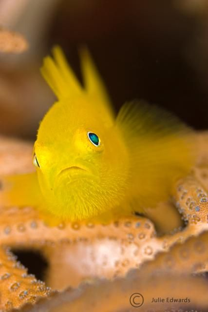 Hairy Yellow Goby, Papua New Guinea