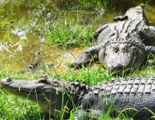 Workaway in . Help at a small aligator park and petting zoo in Texas,