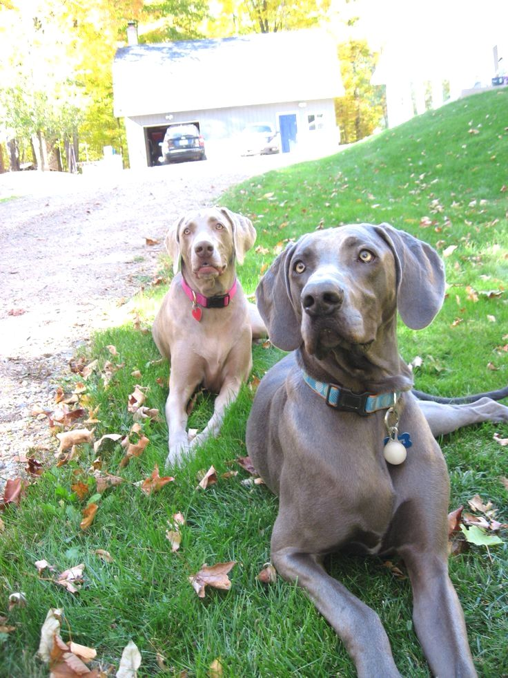 Pin By Virginia A Witman On Weimaraner Weimaraner Great Dane
