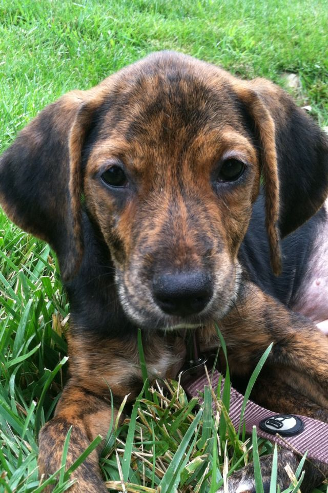 My 9 week old Dutch shepherd/beagle mix, Addison | Pets ...