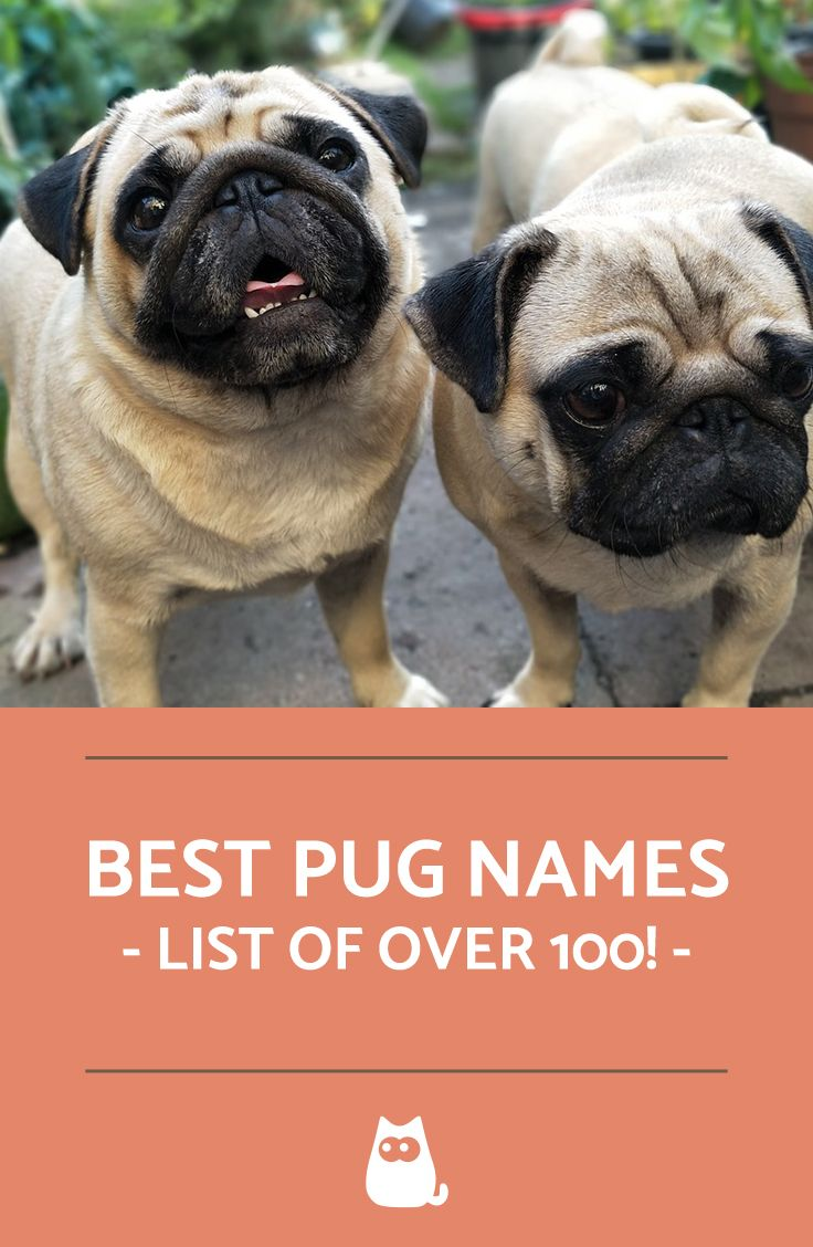 Pug Names For Male And Females More Than 130 Ideas Pug Names