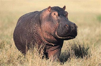 Hippo sweat is red in colour! Photo: Image Source / Getty Images UK