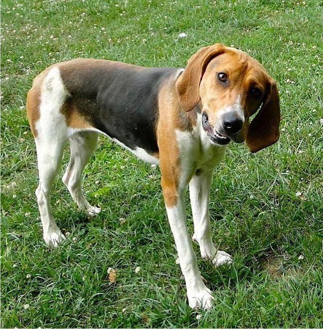 Adopt 17 B Bea On Treeing Walker Coonhound Walker Coonhound Walker Hound