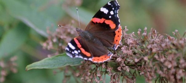 A Red Admiral butterfly, also known as Vanessa atalanta, resting on a faded Buddleja flower.  If you deadhead your Buddleja plants they will keep flowering over a much longer period, and will also look tidier.