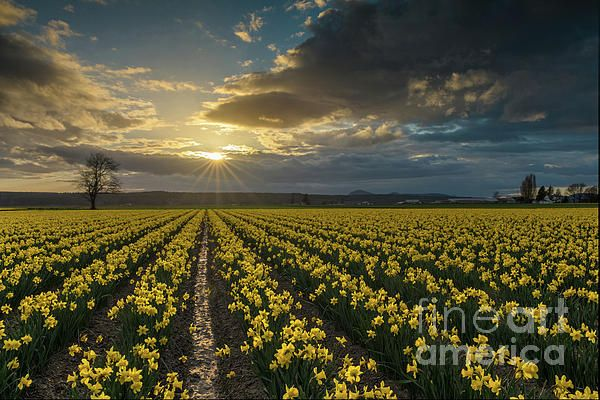 Golden Daffodils Fields Sunstar Evening photography by Mike Reid
