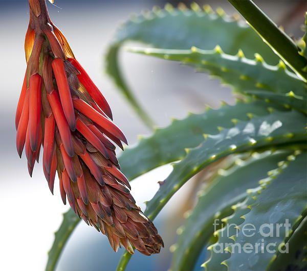 'Cactus Flower'