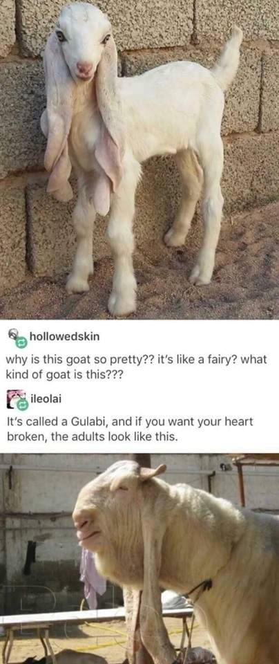 IT LOOKS LIKE A FAIRY WHEN IT'S A KID, BUT A ORC WHEN GROWN.