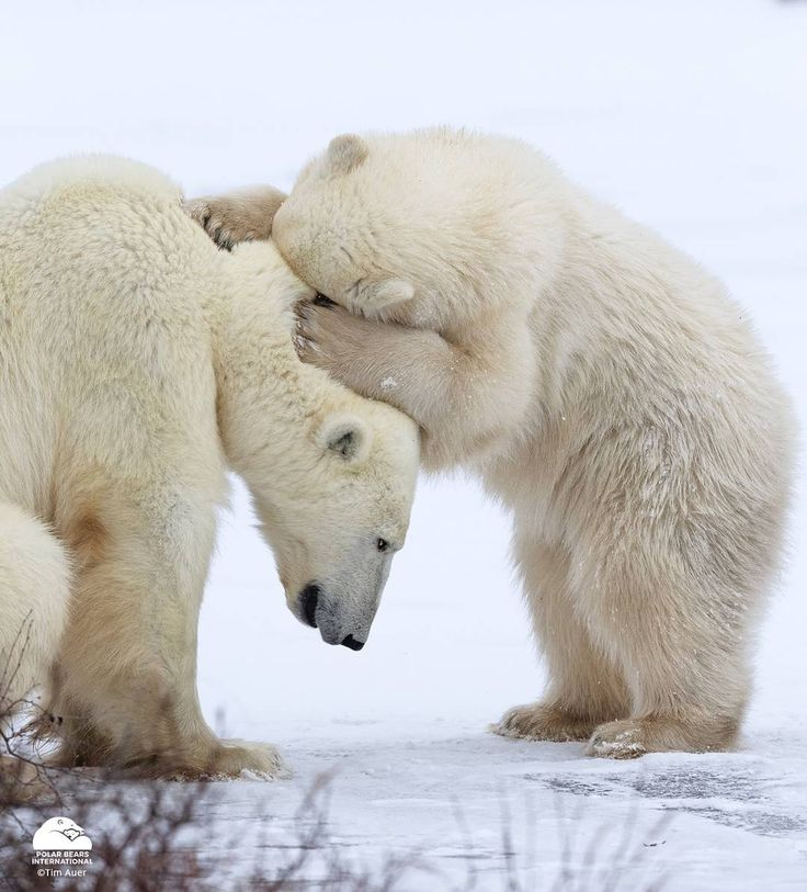 Polar Bears International (@polarbearsinternational) • Instagram photos and videos