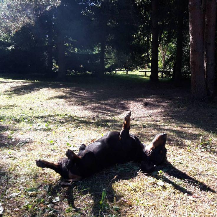 «Собачий ленивый гитлерюгенд / Lazy hitlerjugend dog #такса #собака #природа #лето #отдых #нарасслабоне #жизньудалась #лес #dog #nature #summer #sun…»