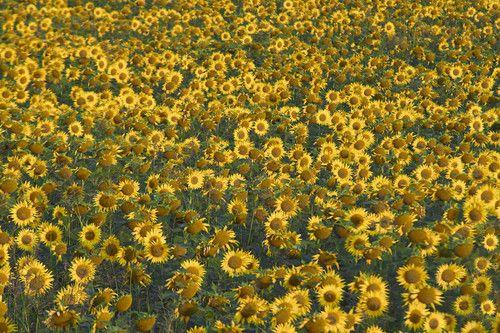 Sunflowers of Hungary Photo: Aleksandar Mazzora