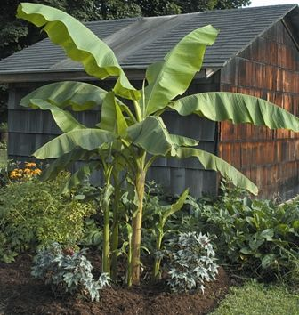 Musa Basjoo, a hardy banana that is tollerant of Colorados winters! I MUST get one!
