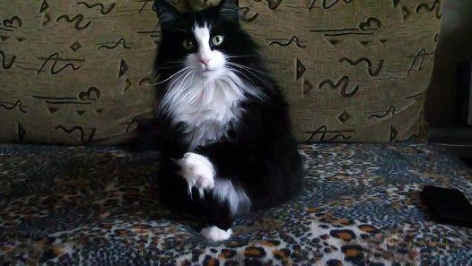 НОРВЕЖСКАЯ ЛЕСНАЯ КОШКА #норвежская #кошка #порода