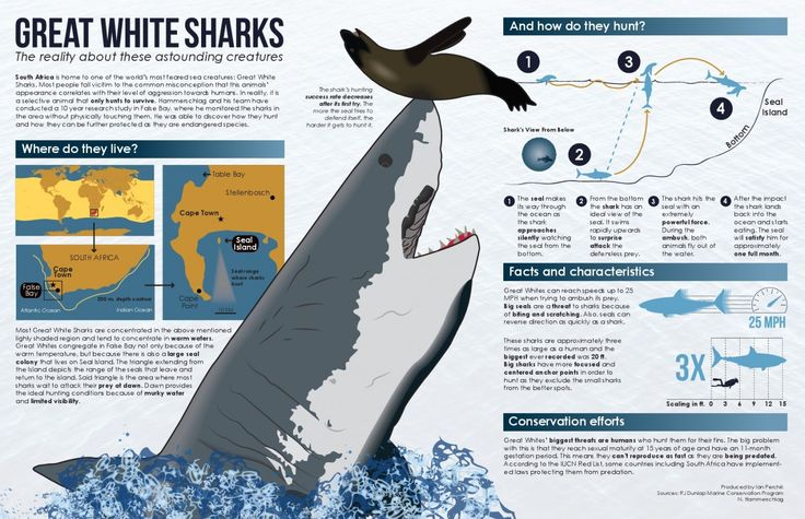 The Science Behind Great White Shark Predation  Infographic