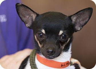 Pictures of Bond a Chihuahua Mix for adoption in Colorado Springs, CO who needs a loving home.