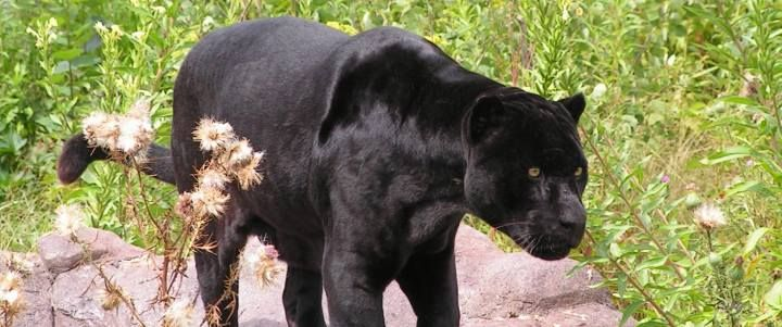 Diablo Guapo The Black Jaguar Http Www Wildcatsanctuary