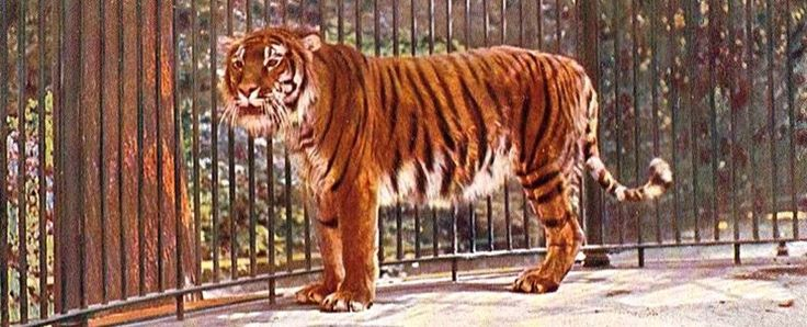 Scientists have a plan to bring back the Caspian tiger, which has been extinct for 50 years - ScienceAlert