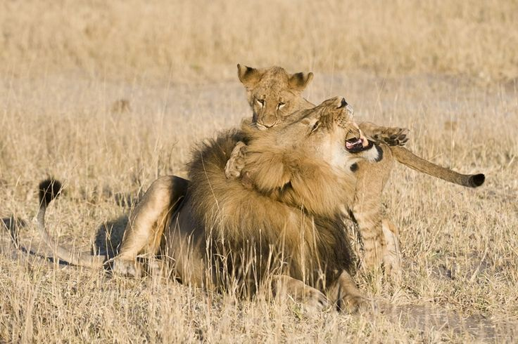 Lion playing with his cub, Hwange National Park. Enjoy great wildlife sightings