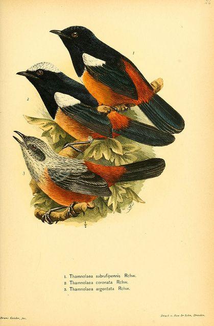 birds, ornithological illustration