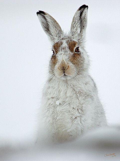 ": "" Mountain-Hare-3 by Chris Sharratt on Flickr """