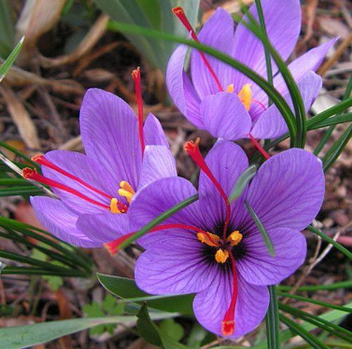 Saffron Crocus 10 Bulbs - Rare Spice - Fall Blooming - Crocus Sativus - In Stock