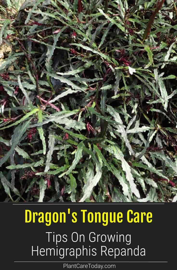 Dragon S Tongue Plant Care Tips Growing The Hemigraphis Repanda In 2020 Plants Plant Care Plant Care Houseplant