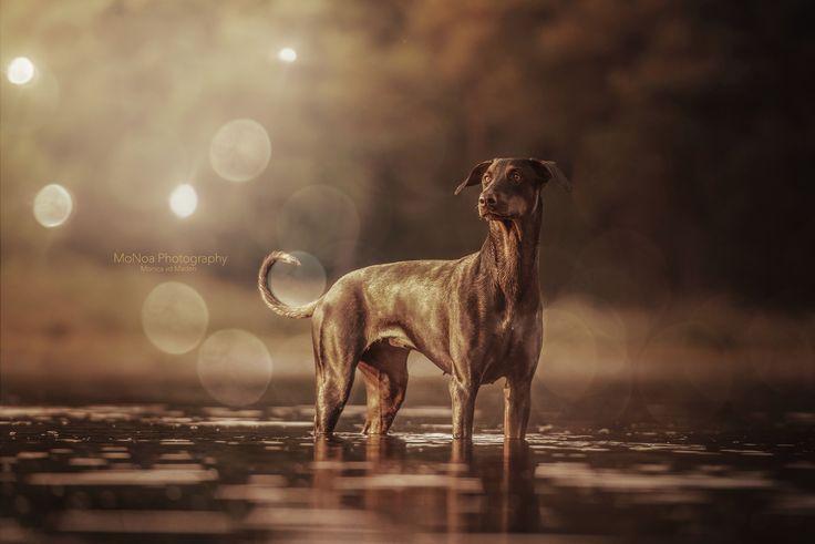 #Dobermann #Dog #Golden hour