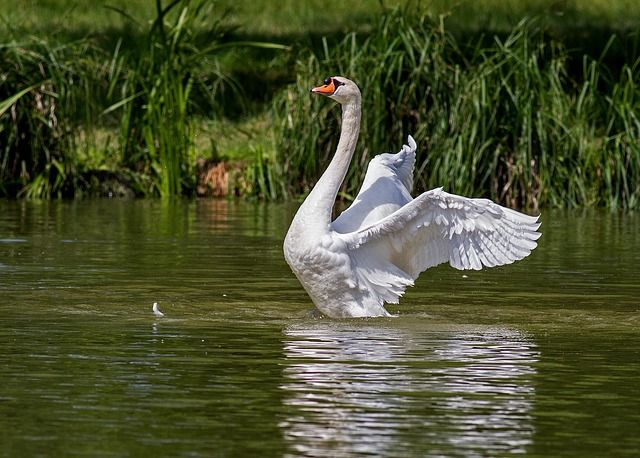 Free Photo: Swan, Water Bird, Animal, Nature - Free Image on Pixabay - 359931