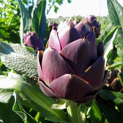 Artichoke Purple Romagna Vegetable Seeds (Cynara Scolymus) 30+Seeds - Under The Sun Seeds  - 2