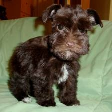 Brown teacup schnauzer puppy! They stay puppy looking forever!