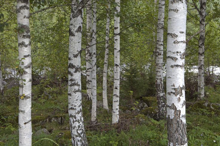 1000 ideen zu fototapete birkenwald auf pinterest acryl b ume zeichnen und wasserfarben b ume. Black Bedroom Furniture Sets. Home Design Ideas